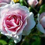 Osmo® engrais biologique roses 6–2Sac de 8+ 2% MG, 5kg de la marque OSMO image 1 produit