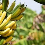 Poudre de Banane Biologique - 500g (Certifiée Biologique) de la marque Indigo Herbs of Glastonbury image 4 produit