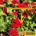 Solabiol SOLICOMP1 Engrais Complet Liquide 1L Prix Choc, Marron, 1 L de la marque Solabiol image 2 produit
