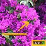 Solabiol SOLILAUR1N Engrais Lauriers et Bougainvilliers Liquide, Marron, 1 L de la marque Solabiol image 2 produit