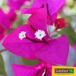 Solabiol SOLILAUR1N Engrais Lauriers et Bougainvilliers Liquide, Marron, 1 L de la marque Solabiol image 3 produit