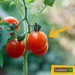 Solabiol SOTOMY750 Engrais Tomates et Légumes Fruits, Marron, 750 g de la marque Solabiol image 3 produit