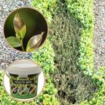 TOPBUXUS HEALTH-MIX 200G pour 100m2 de buis, efficace contre le dépérissement du buis, faites comme le producteur de buis! de la marque TOPBUXUS image 1 produit